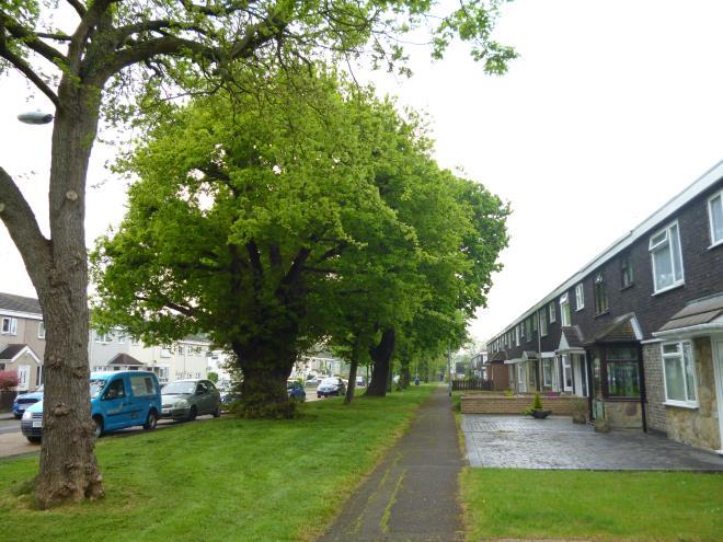 lapsed oak pollard urban street 3
