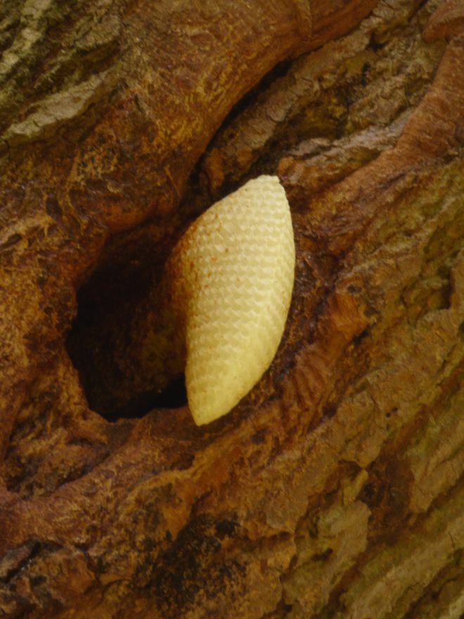 ash-tree-bees-nest-honeycomb-3
