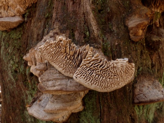Daedalea quercina oak monolith 8